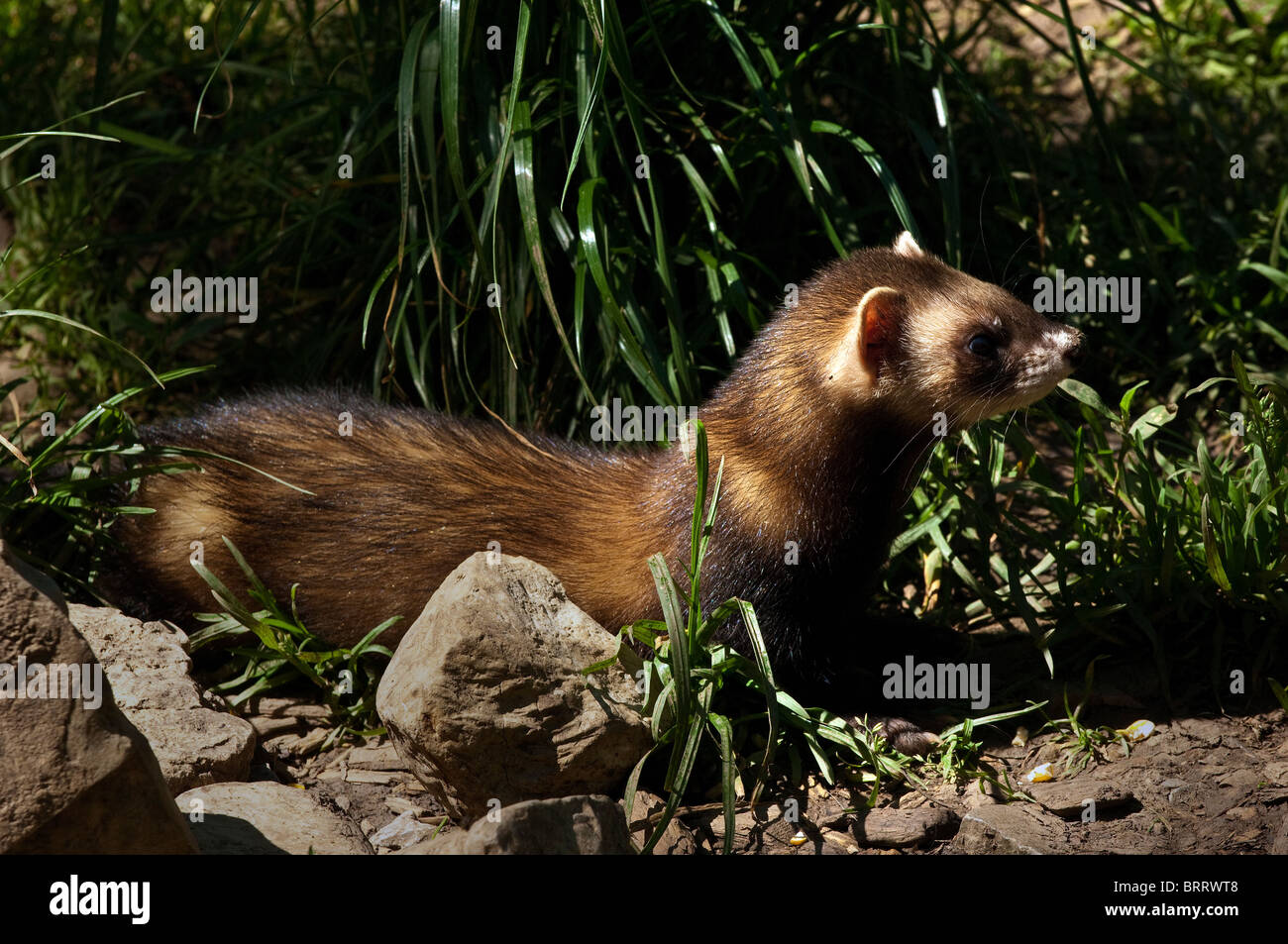 Wiesel Stock Photos Amp Wiesel Stock Images