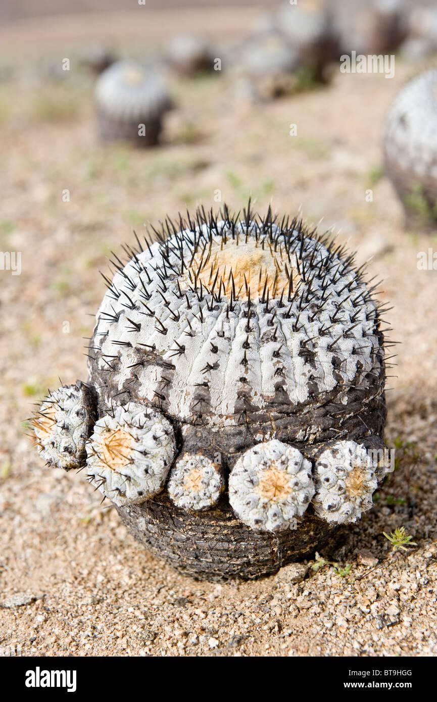 Copiapoa Cinerea Ssp Columna Alba Cactus Parque National