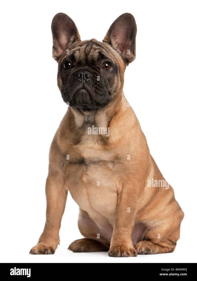 french bulldog puppy, 4 months old, sitting in front of white stock