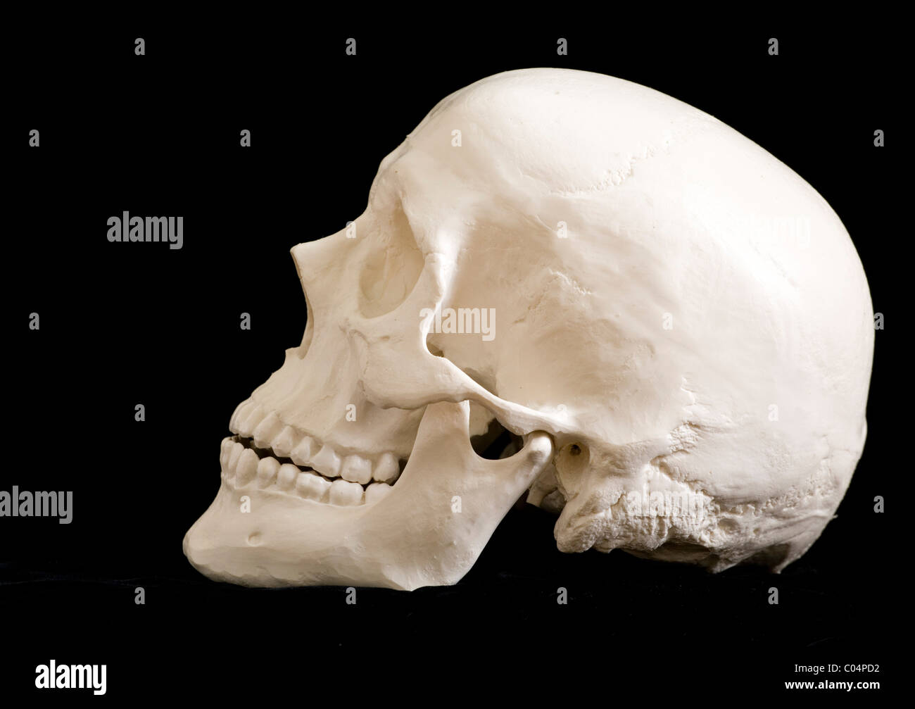 Human Skull Lateral View Left Orbit Stock Photo