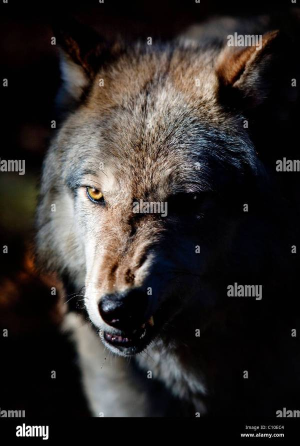 Growling Wolf Stock Photos Growling Wolf Stock Images