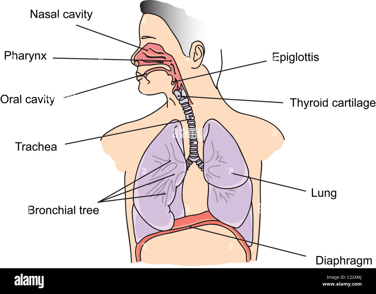 Structure Of Human Lungs And Respiratory System