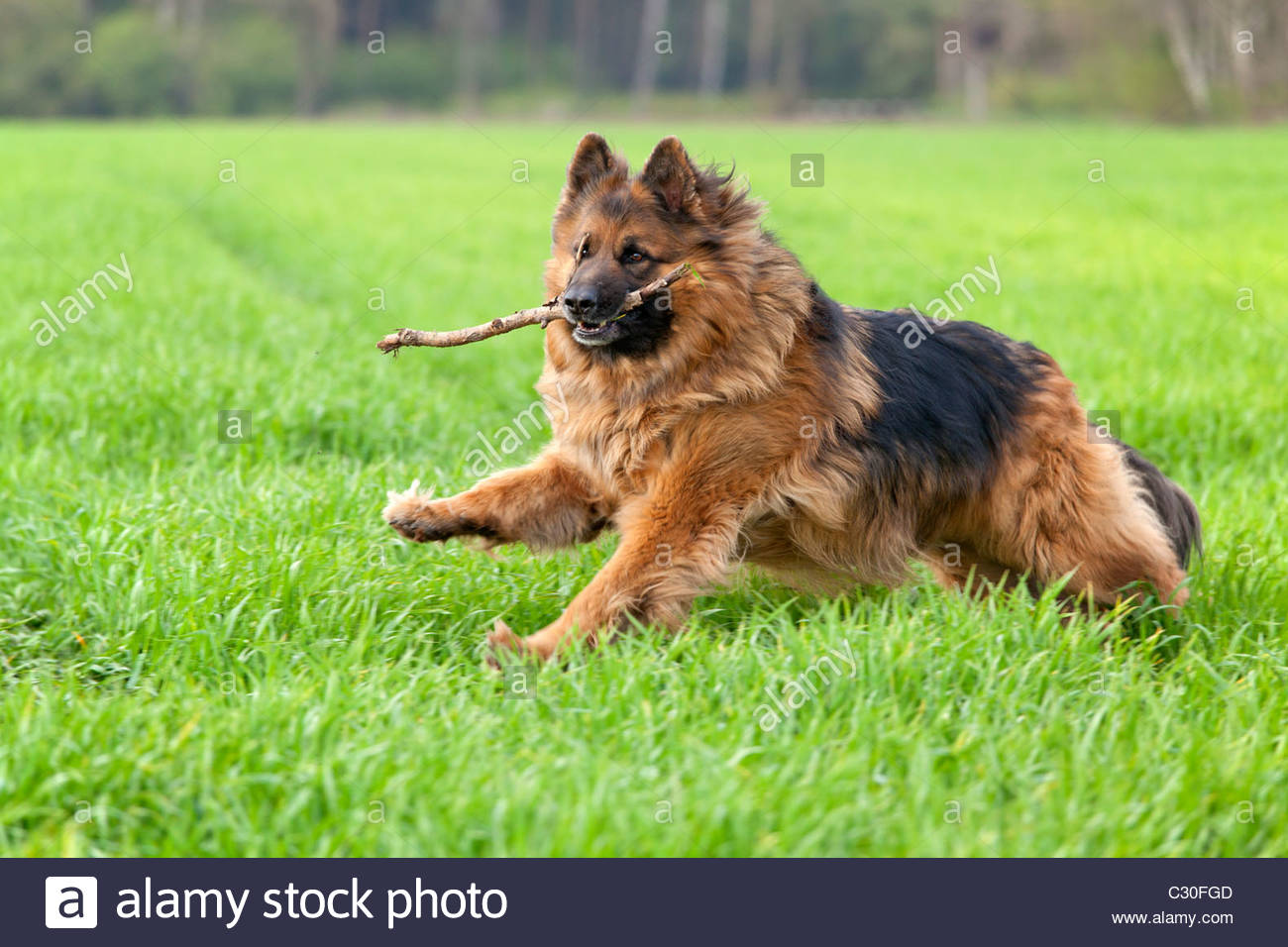 Long Hair German Shepherd Dog Running Through A Field