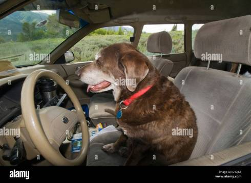 Chocolate Labrador retriever in car in driver's seat Stock Photo ...