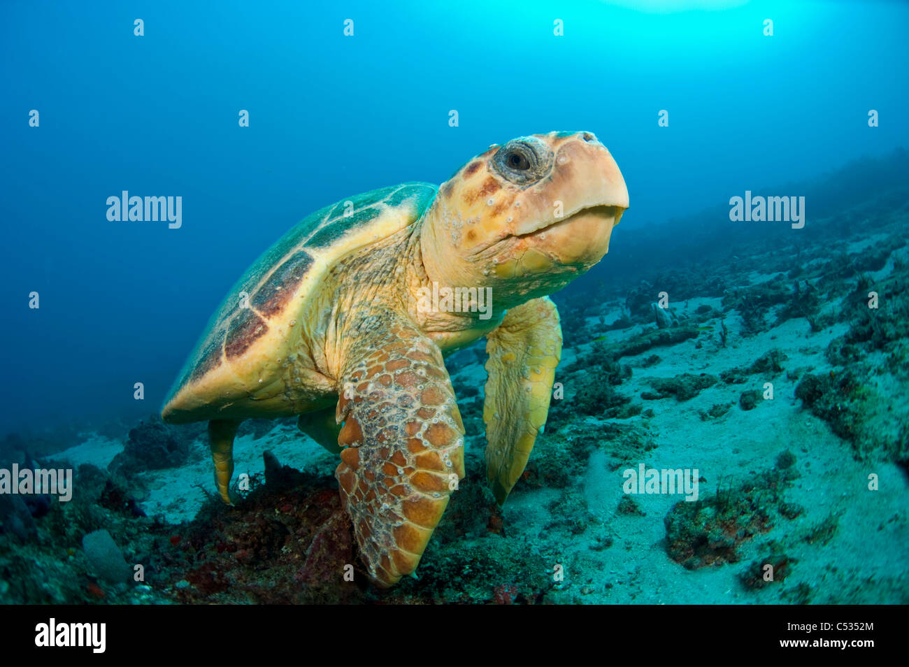 Endangered Loggerhead Sea Turtle Caretta Caretta