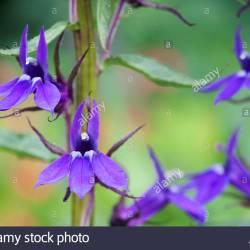 Lobelia Flower Vector Gardening Flower And Vegetables