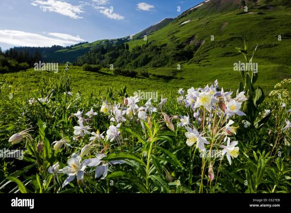 Rocky Mountain Columbine, Hellebore Family, Ranunculaceae ...