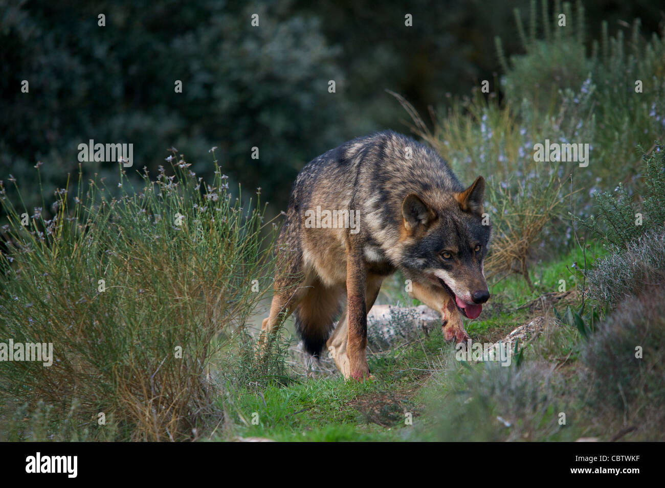 Pictures Coyotes Eating Deer Baby Deer