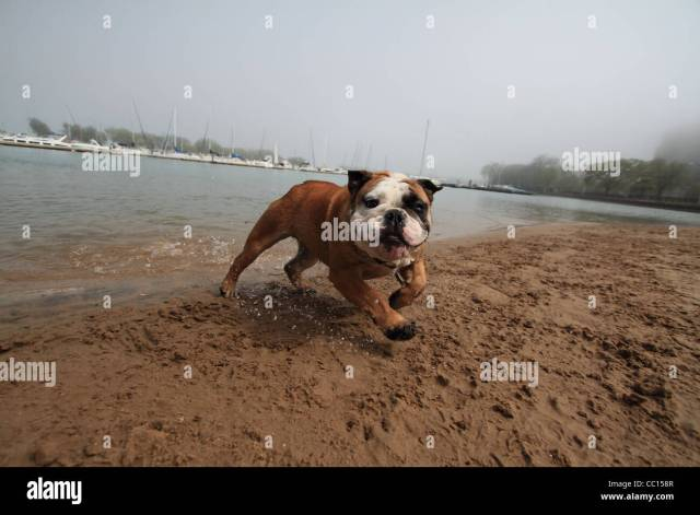 a french bulldog runs out of lake michigan on to a doggie beach