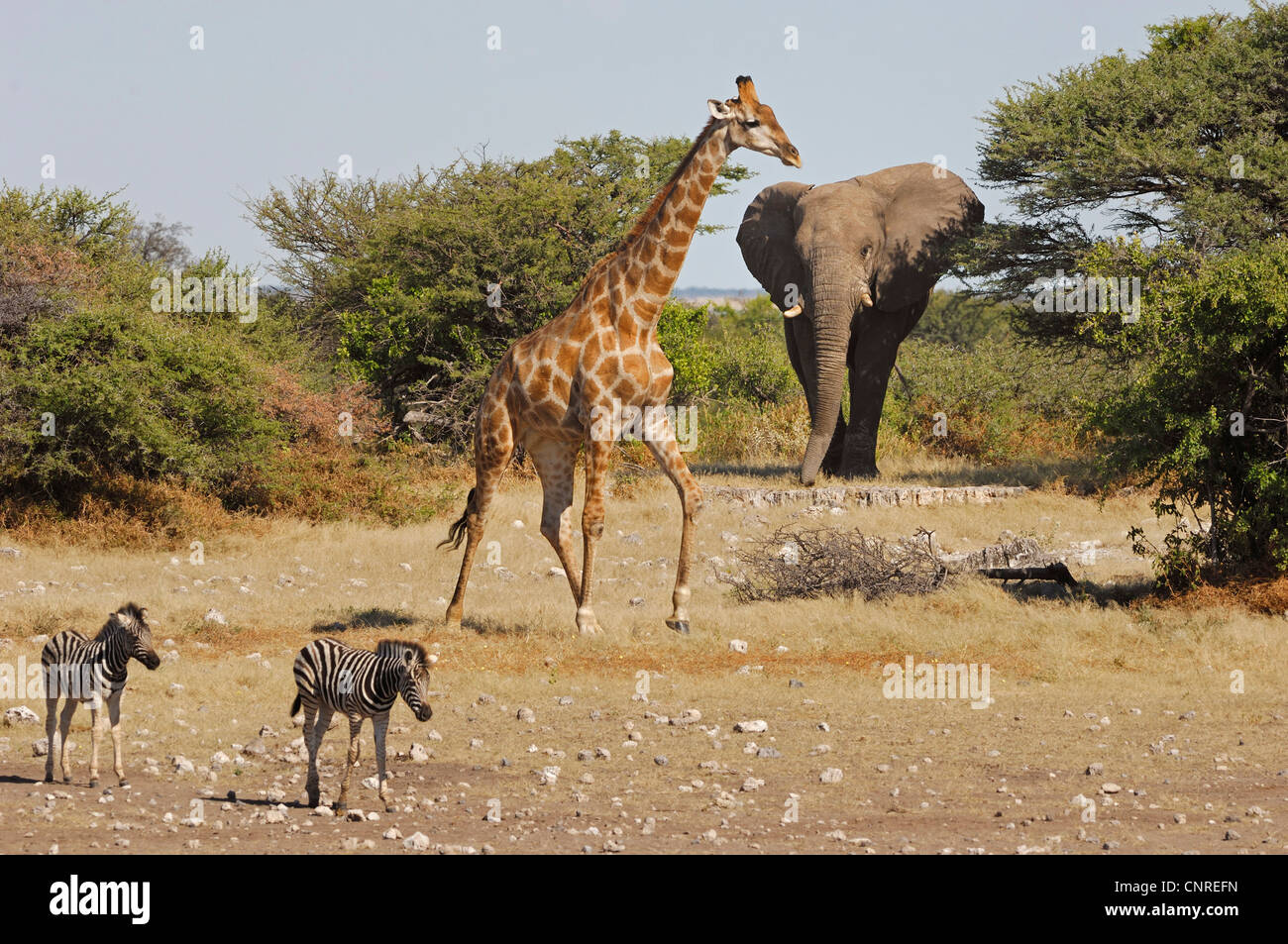 Elephant Giraffe And Zebras At A Water Hole Namibia