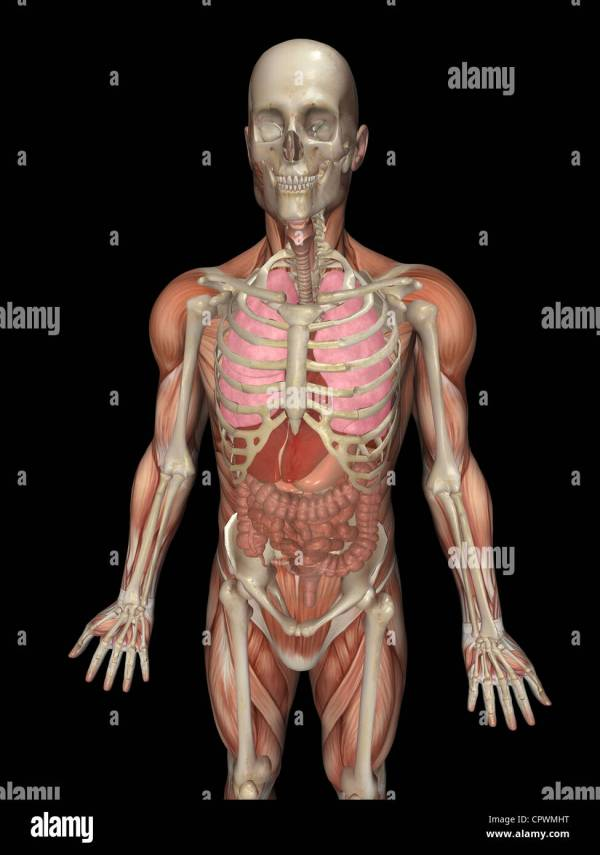 Anatomical illustration of the human body showing the ...