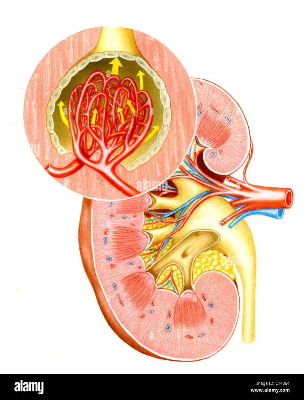 Kidney Ureter Anatomy Vessels