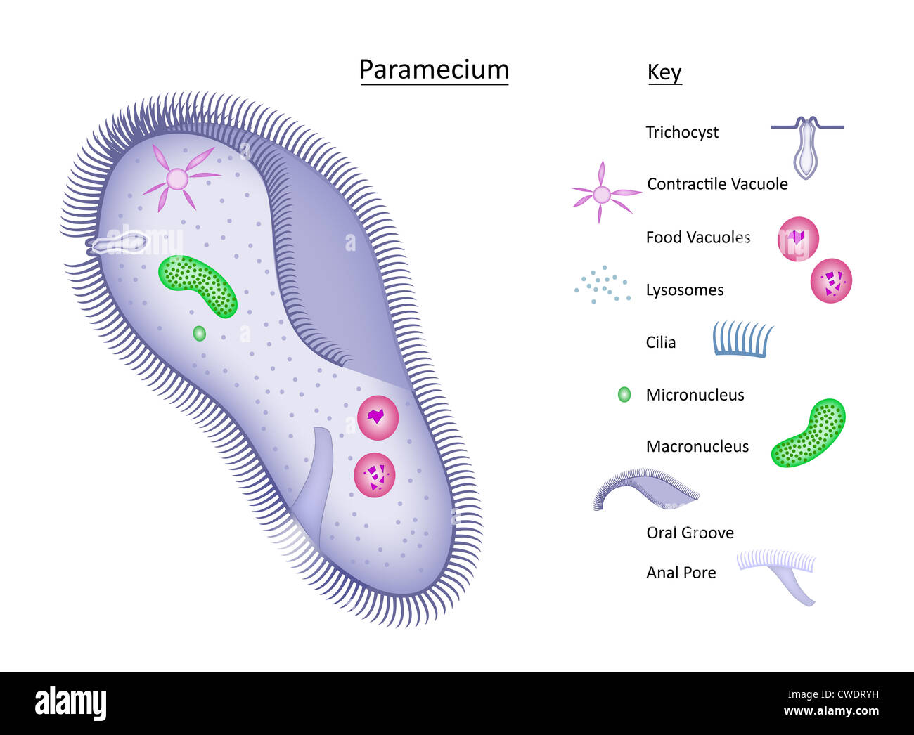 Caudatum Labeled Microscope Paramecium Under