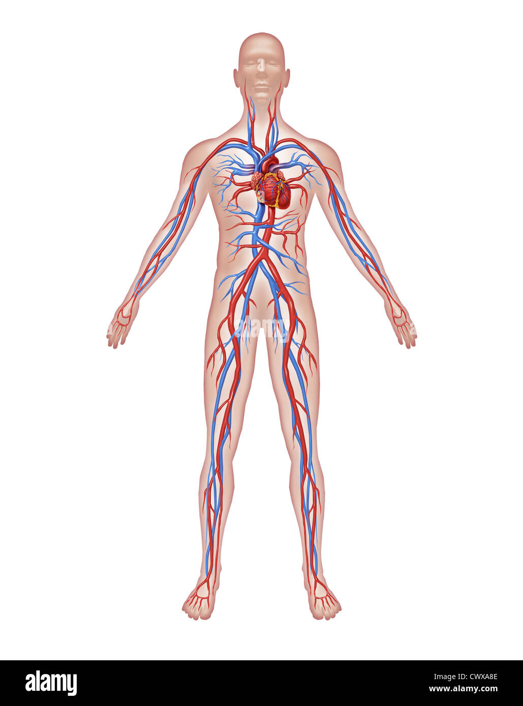Human Circulation Anatomy And Cardiovascular Heart System With A Stock Photo