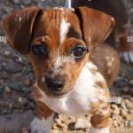 Chihuahua Dachshund Cross Breed Dog Puppy Wearing Bowtie Chiweenie Stock Photo Alamy