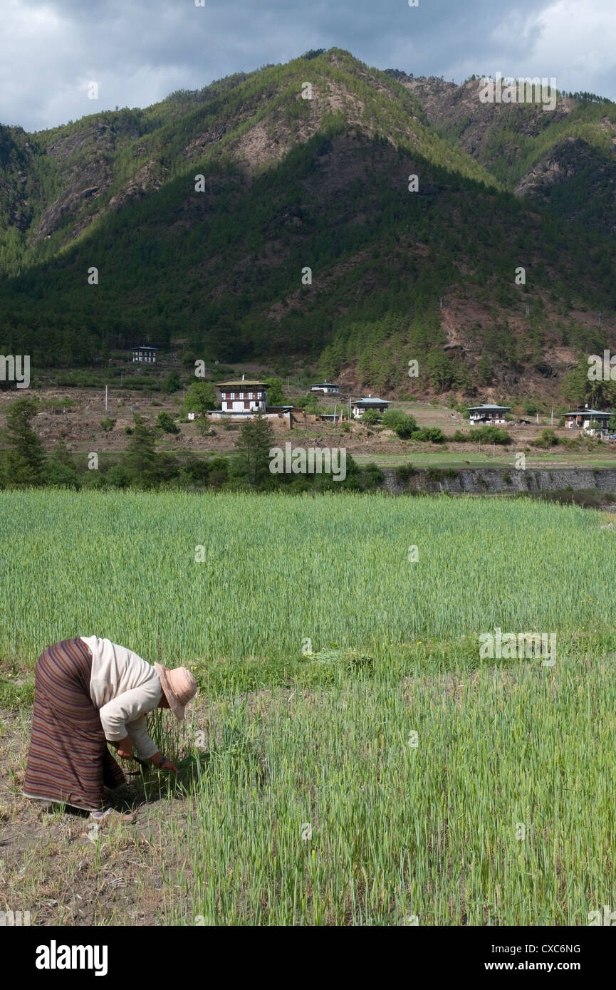 Photo of a female farmer working in a wheat field in Paro. Image courtesy: Asia Stock Photos