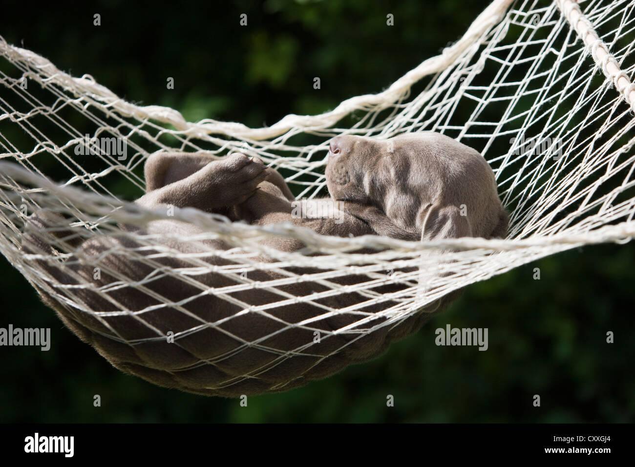 Weimaraner Dog Puppy Sleeping In A Hammock North Tyrol