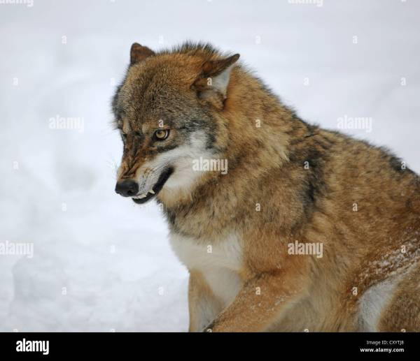 Snarling Wolf Stock Photos Snarling Wolf Stock Images