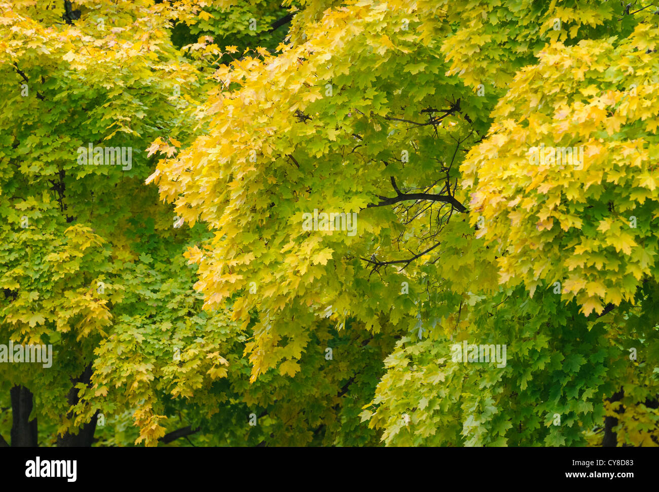 Tree And Leaves Turning Yellow Falling