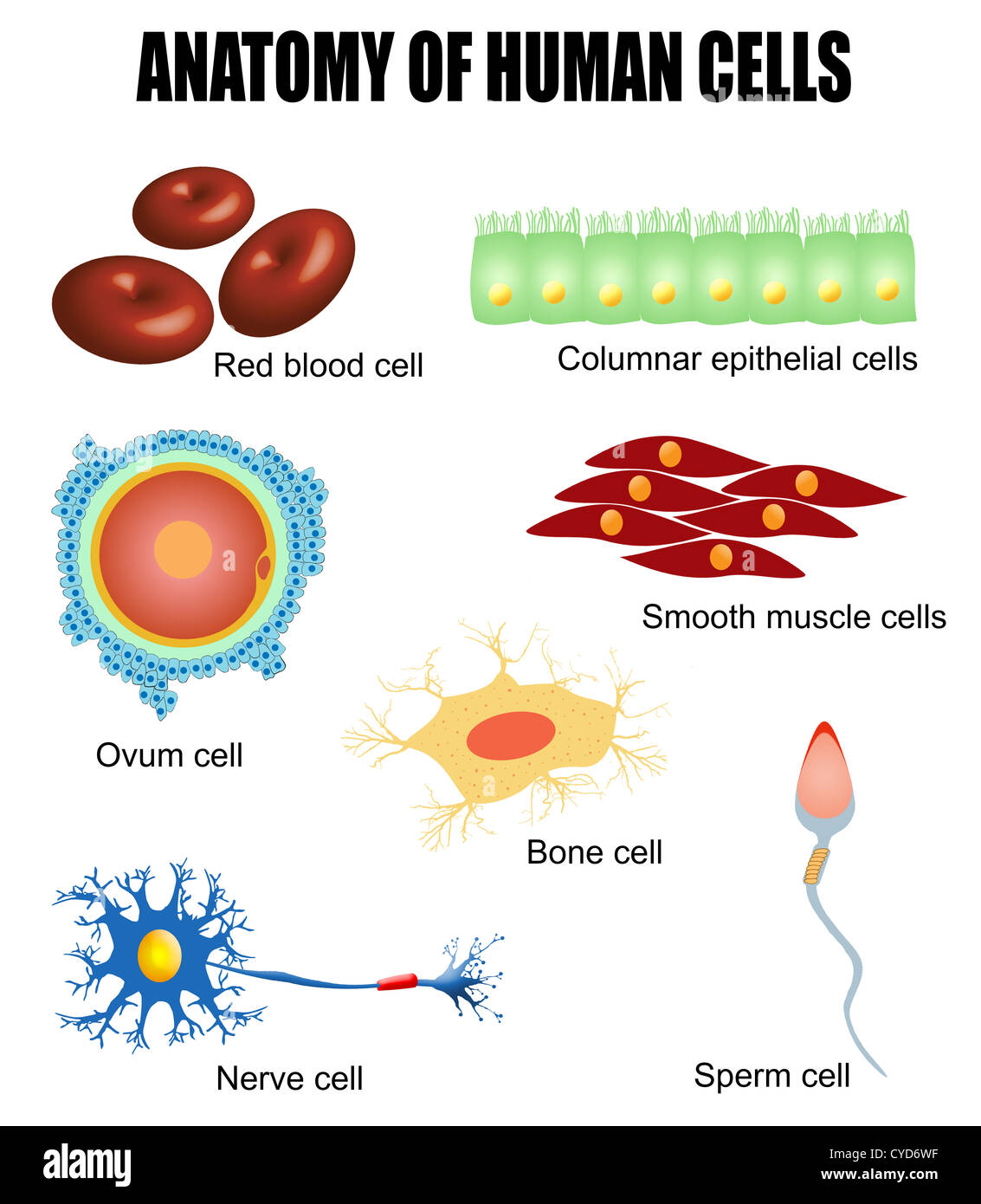 Anatomy Of Different Human Cells Poster Stock Photo