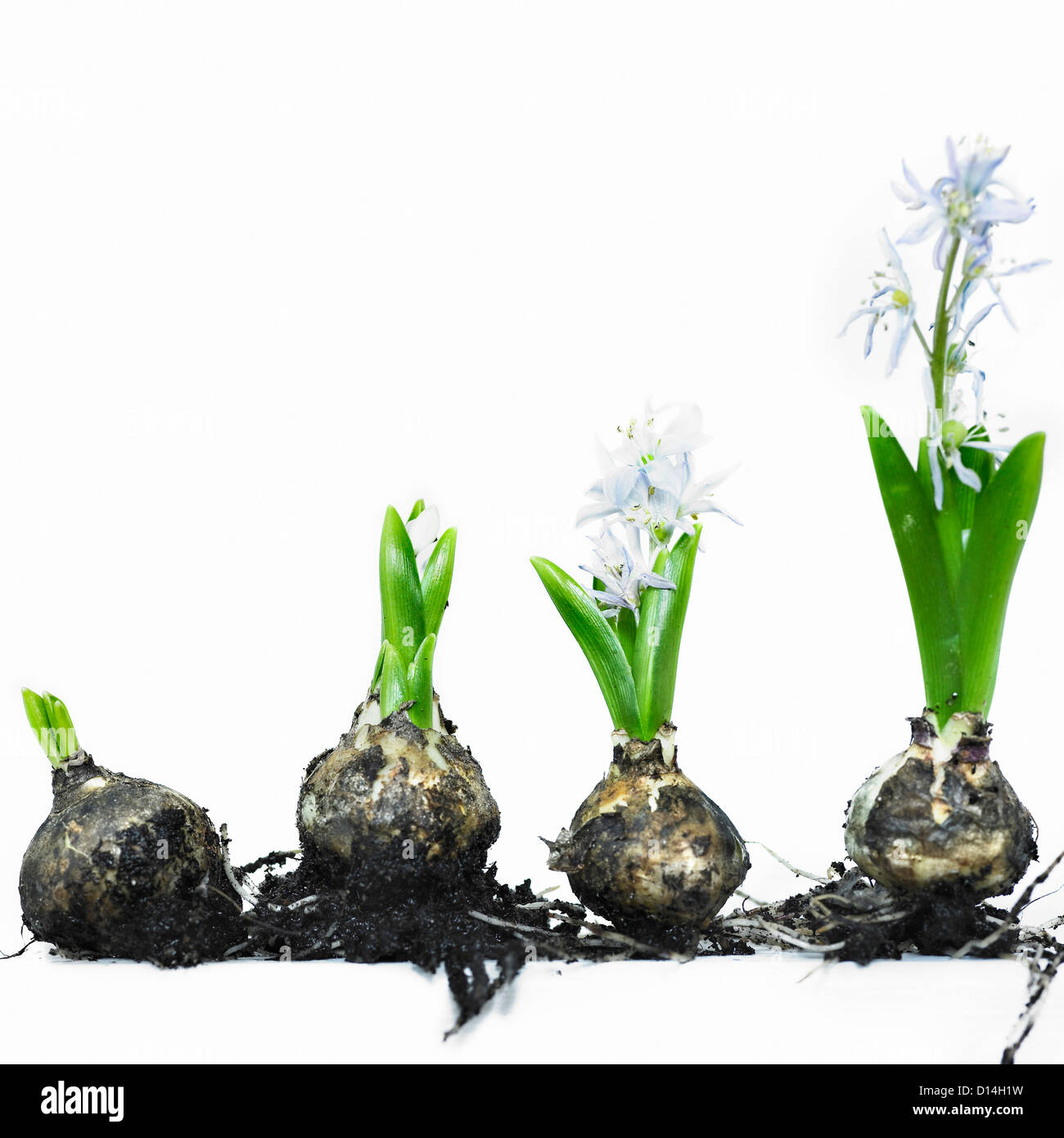 Stages Of Bulb Growth To Flower Stock Photo Royalty Free
