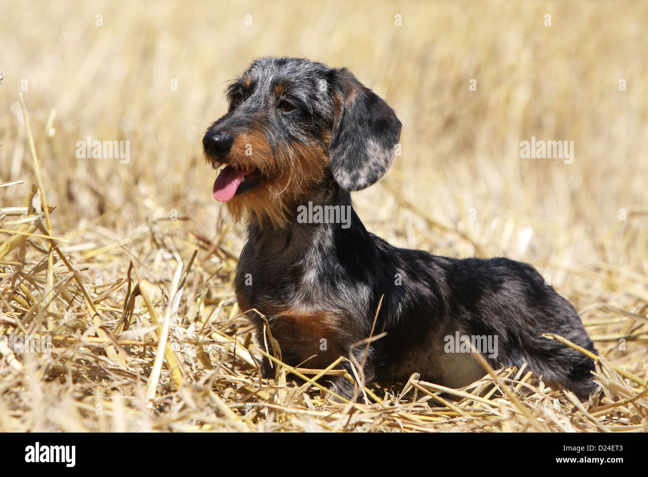 Dog Dachshund Dackel Teckel Wirehaired Merle