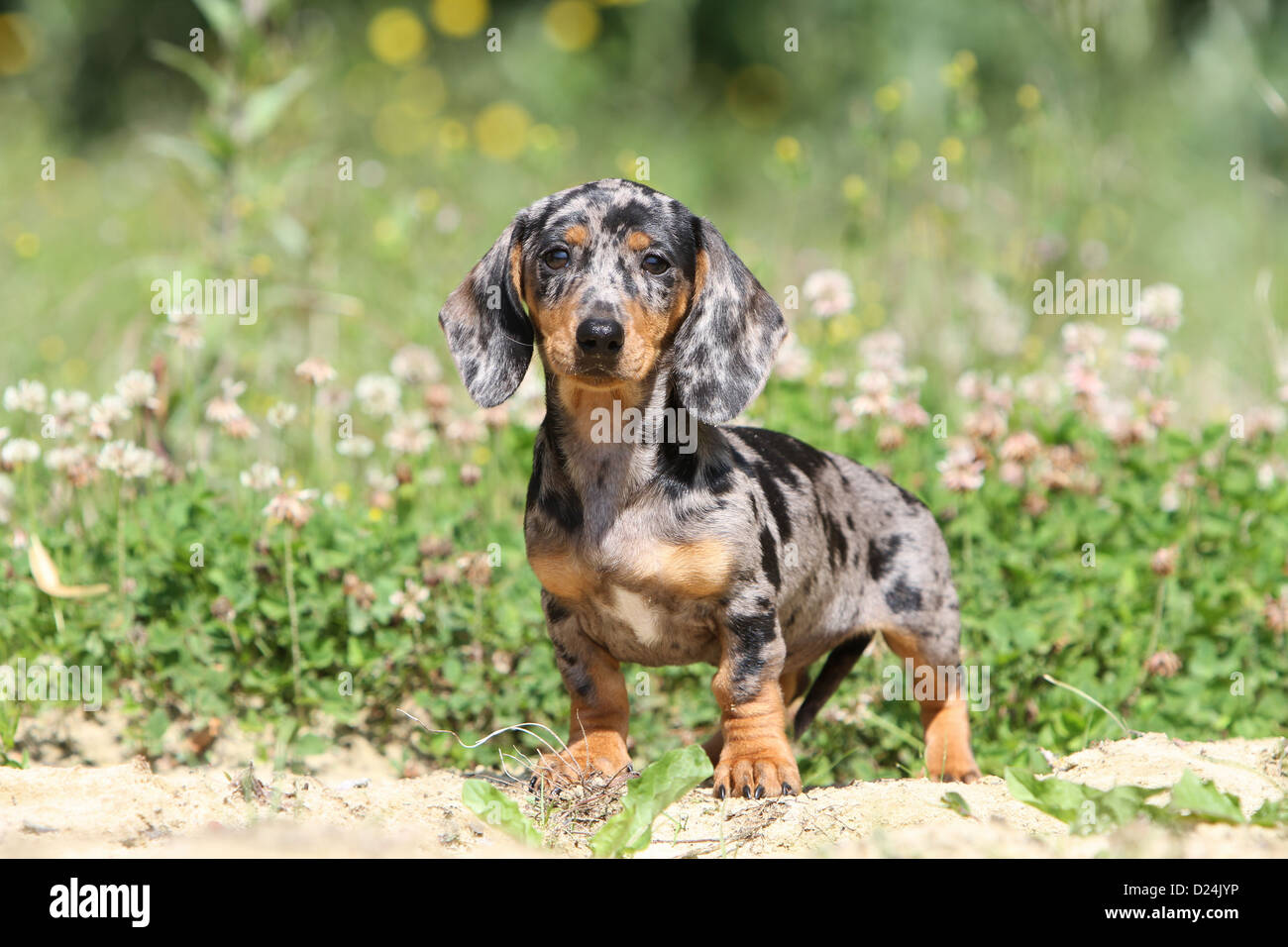 Dog Dachshund Dackel Teckel Shorthaired Puppy