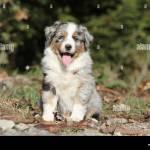 Dog Australian Shepherd Aussie Puppy Blue Merle Sitting Stock Photo Alamy