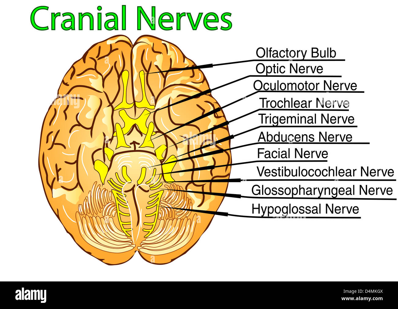 Cranial Nerves Stock Photos Amp Cranial Nerves Stock Images