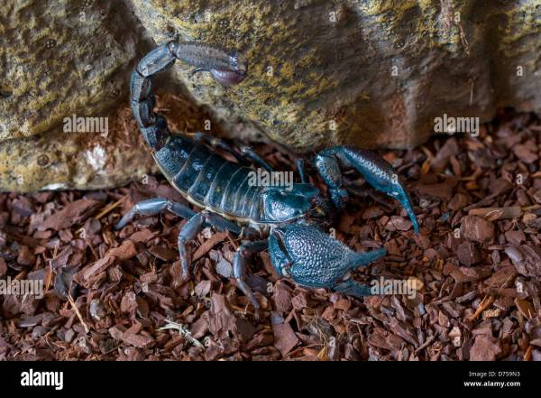 Indian Giant Forest Scorpion Stock Photo 56051103 Alamy