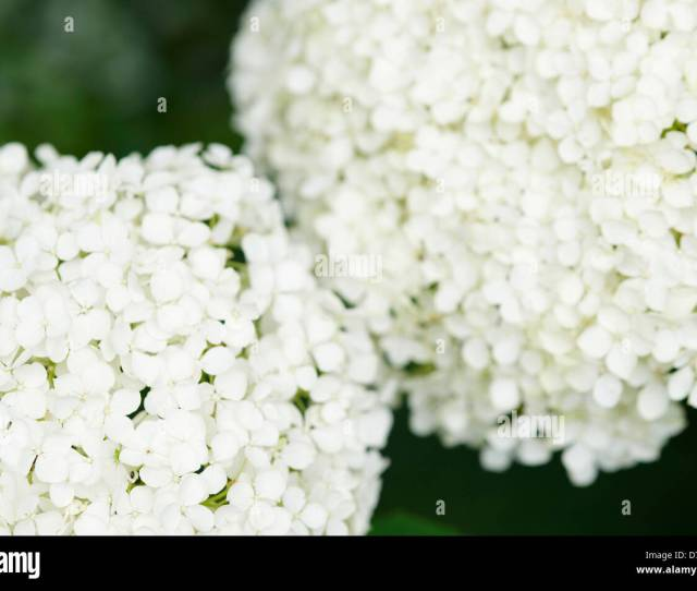 Hydrangea Arborescens Annabelle Flowers Close Up