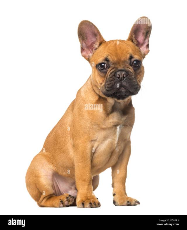 french bulldog puppy, 4 months old, sitting against white background
