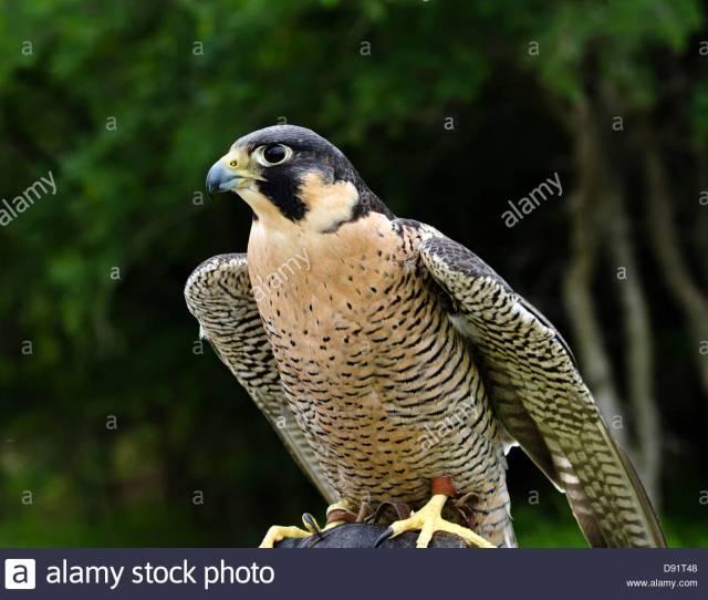 Peregrine Falcon Falco Peregrinus Aka Duck Hawk The Fastest Animal On Earth