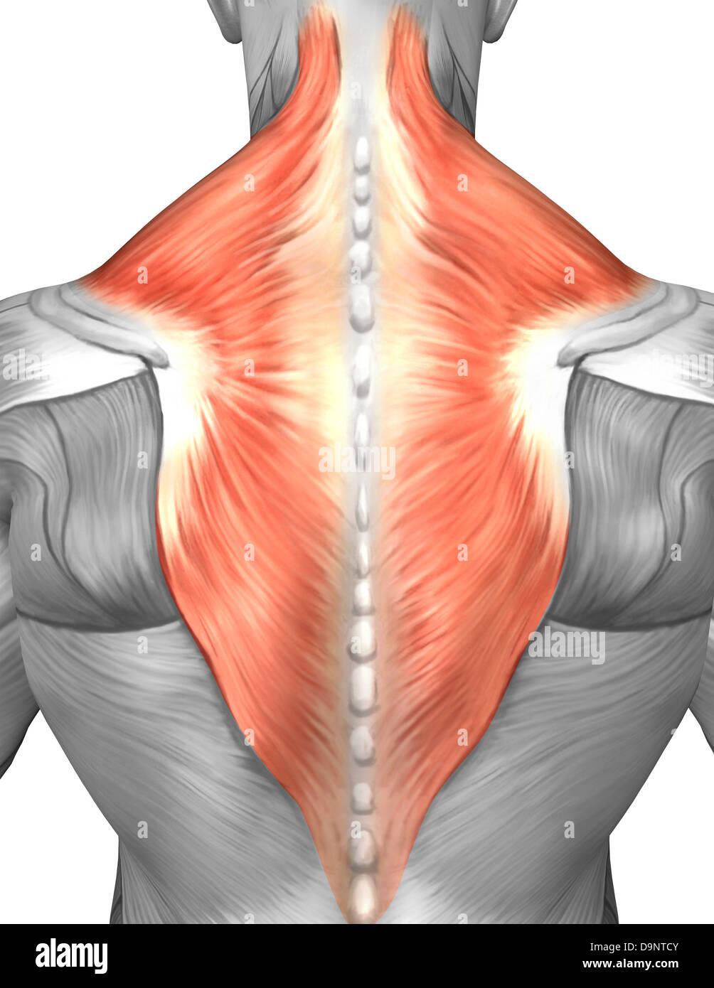 The Muscle Fibers In Deltoid Muscle