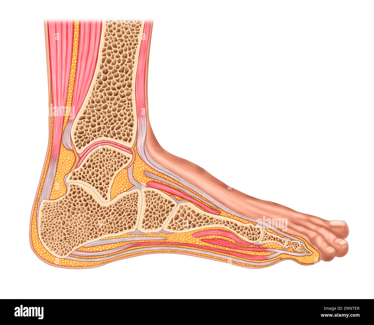 Cross Section Of Anterior Human Foot With Muscles And