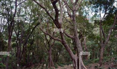 Sandalwood Tree Clip Art | Wooden Thing