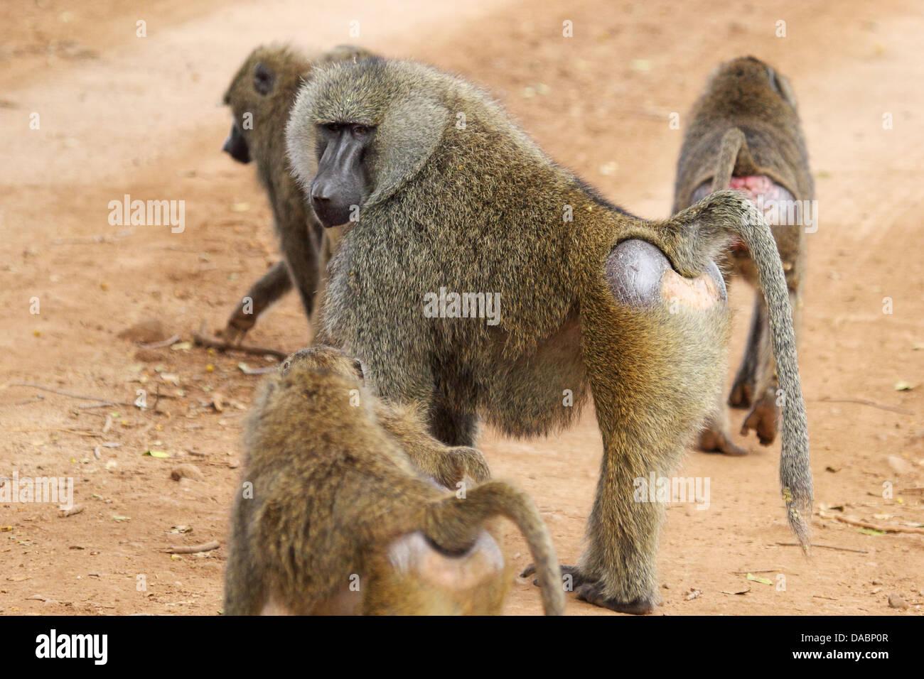 Eating Baboon Tree Banana