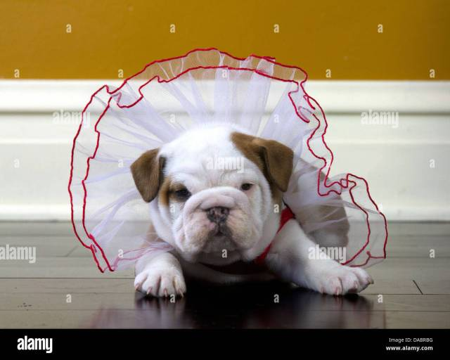 do i look fat? english bulldog puppy in a red and white