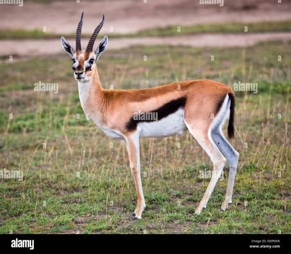 Thomson's Gazelle (eudorcas Thomsonii) In The Serengeti ...