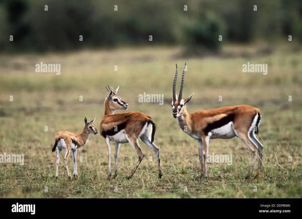 Thomson´s Gazelle (Gazella thomsoni); male, female and young. Masai Stock Photo: 60113919 - Alamy