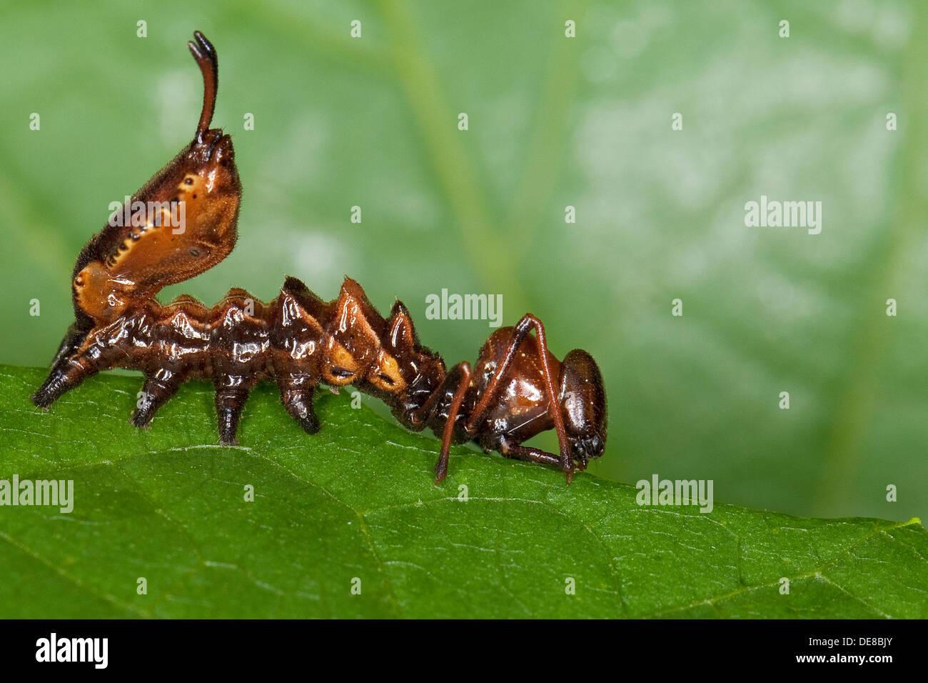 Lobster Moth Caterpillar Mimicry Camouflage Buchen