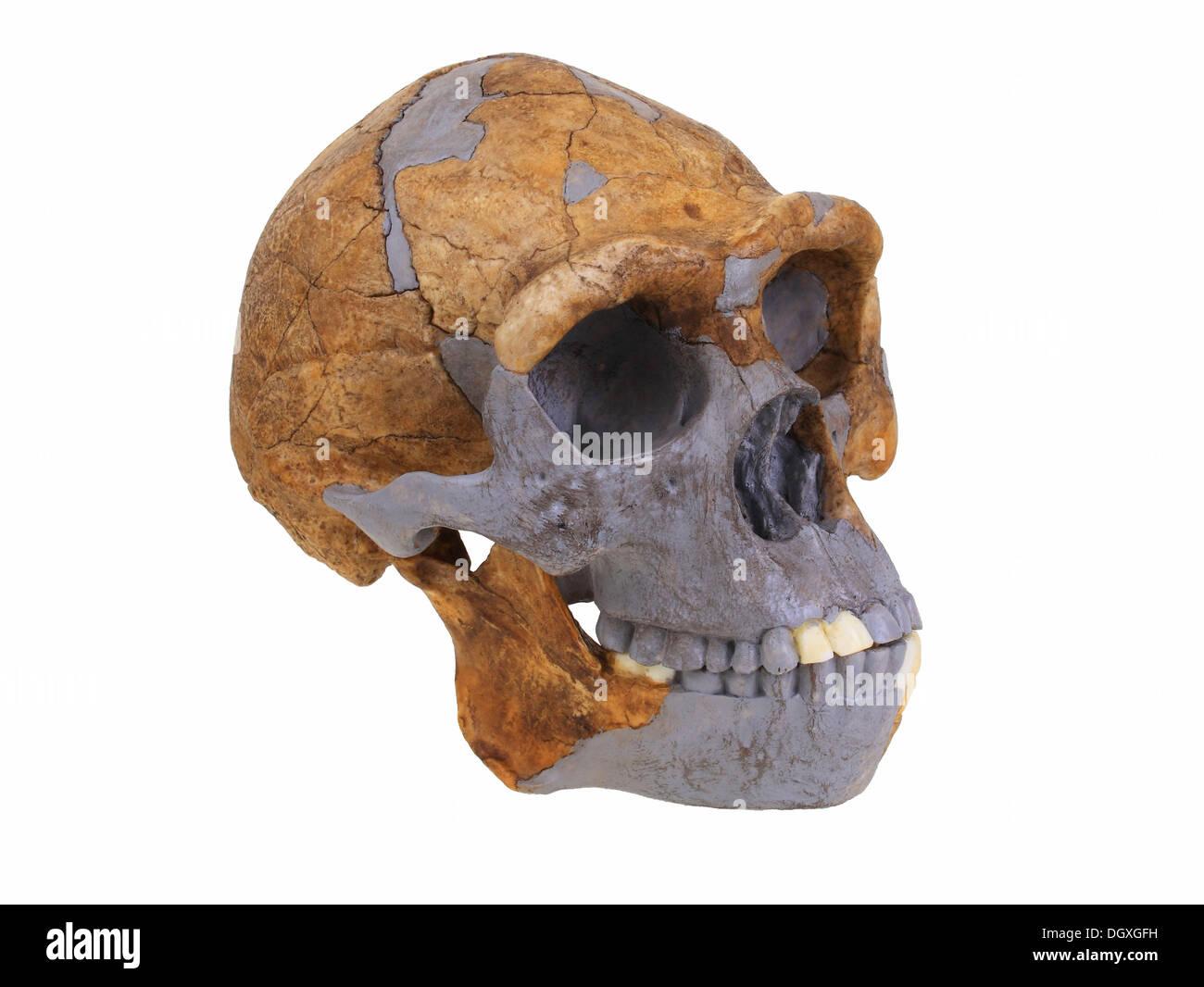 Replica Skull Of Homo Erectus Peking Man Evolution Of