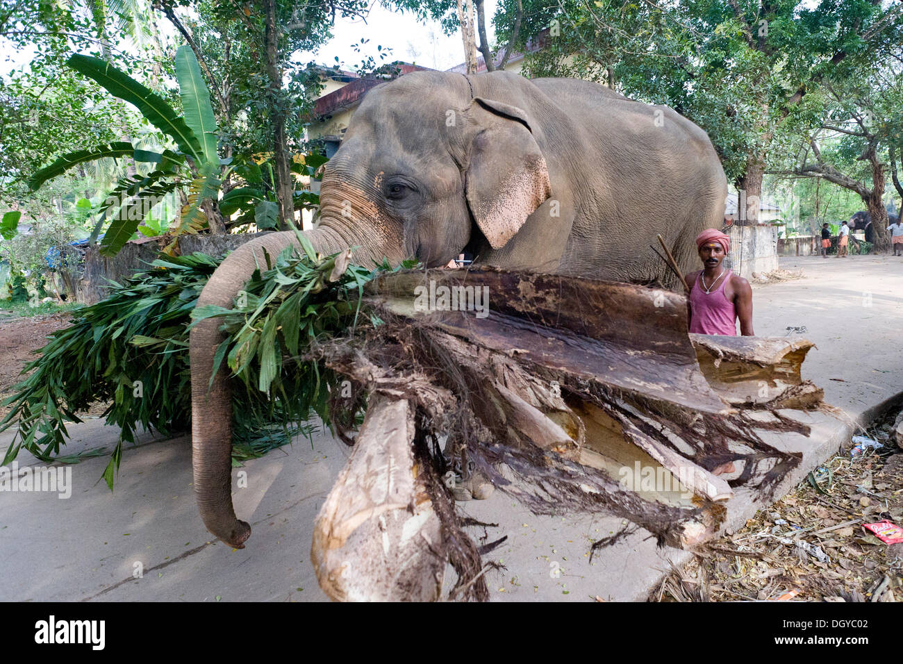 Working Elephant Asian Elephant Elephas Maximus