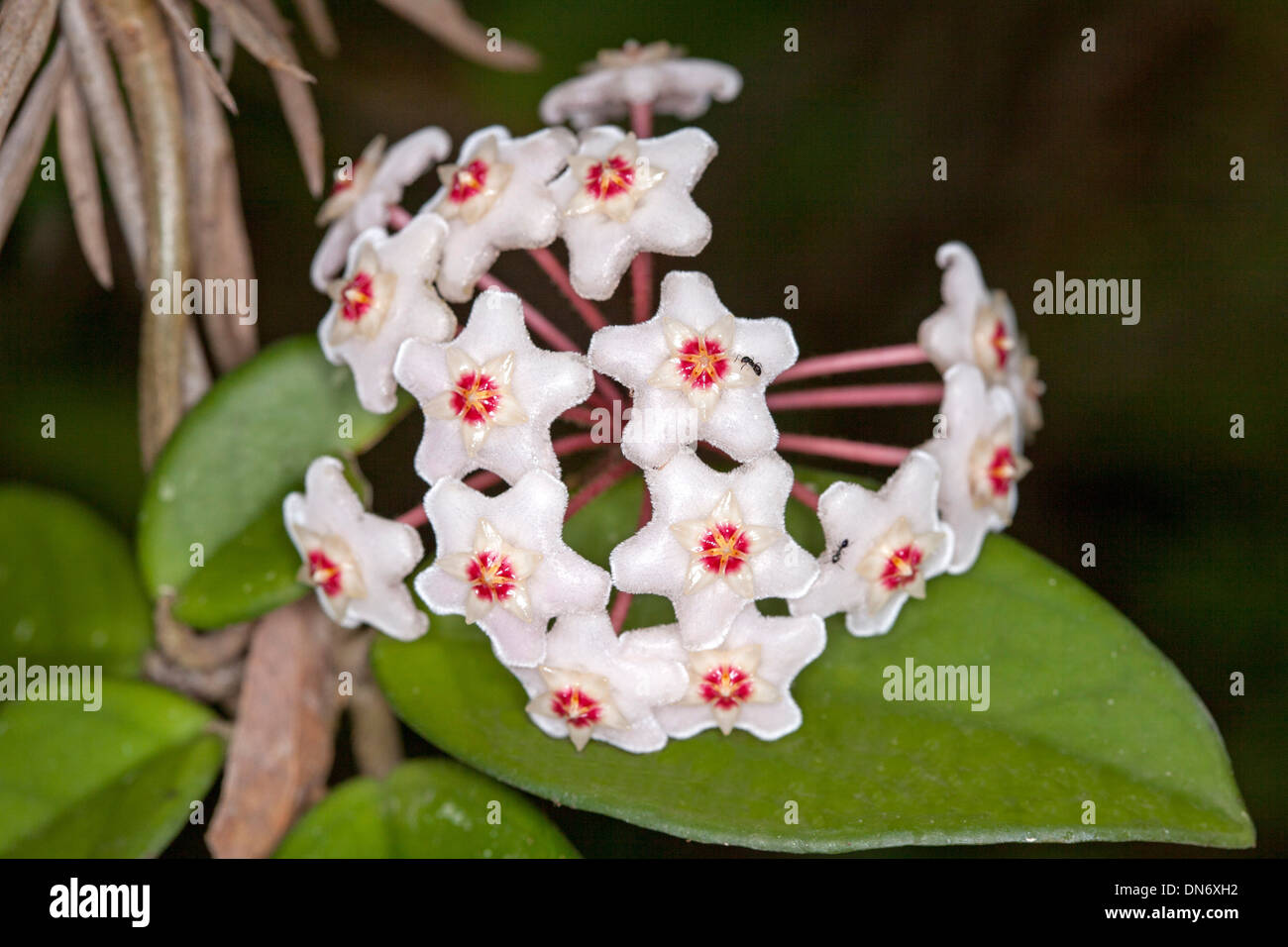 Cluster of attractive red and white flowers and green leaves of Hoya     Cluster of attractive red and white flowers and green leaves of Hoya  carnosa   wax flower  Australian native climber