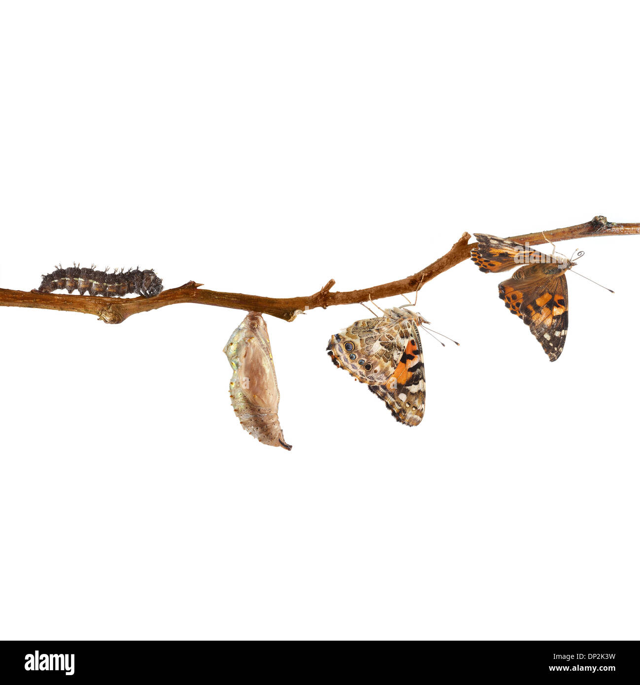 Painted Lady Butterfly Chrysalis Stock Photos Amp Painted