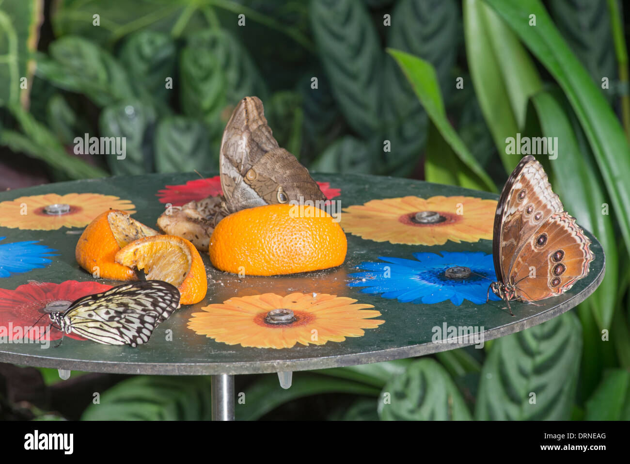 Best Kitchen Gallery: Feeding Station In Tropical Butterfly House Stock Photo 66240456 of Tropical Butterfly House  on rachelxblog.com