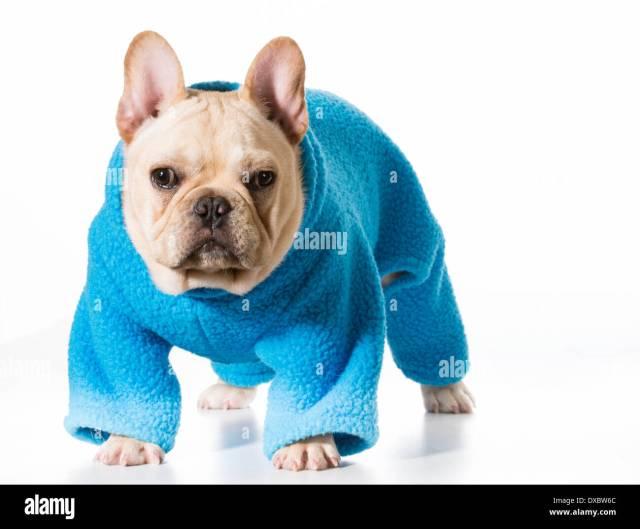 dog wearing coat - french bulldog wearing blue coat isolated