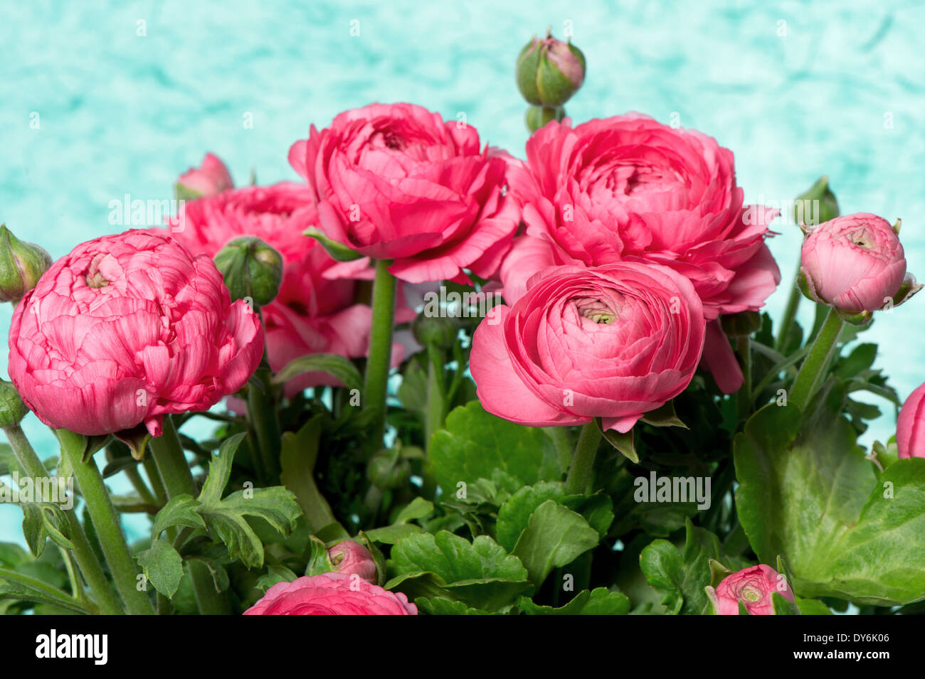 beautiful bouquet of pink ranunculus flowers Stock Photo  68373430     beautiful bouquet of pink ranunculus flowers