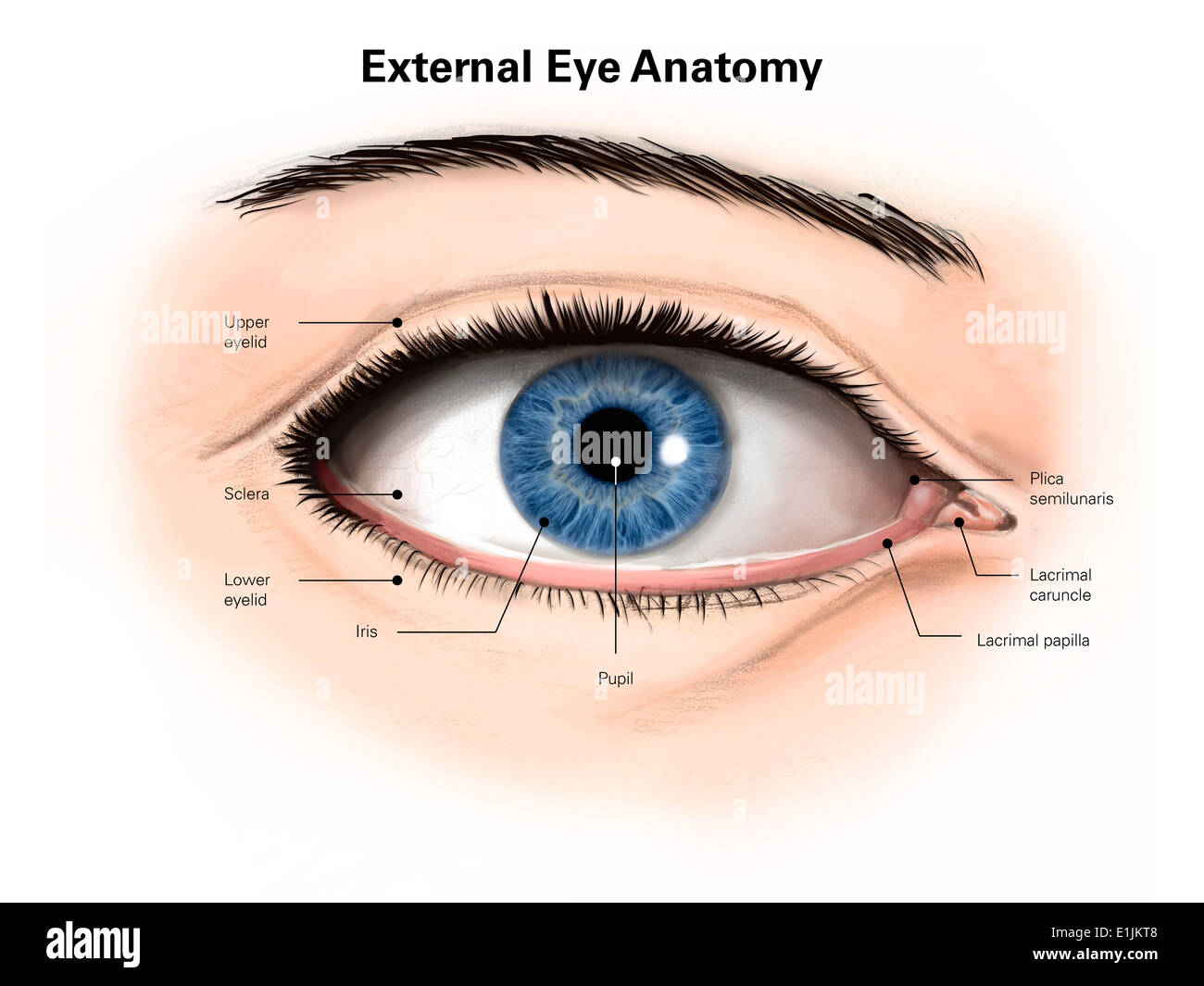 External Anatomy Of The Human Eye With Labels Stock Photo