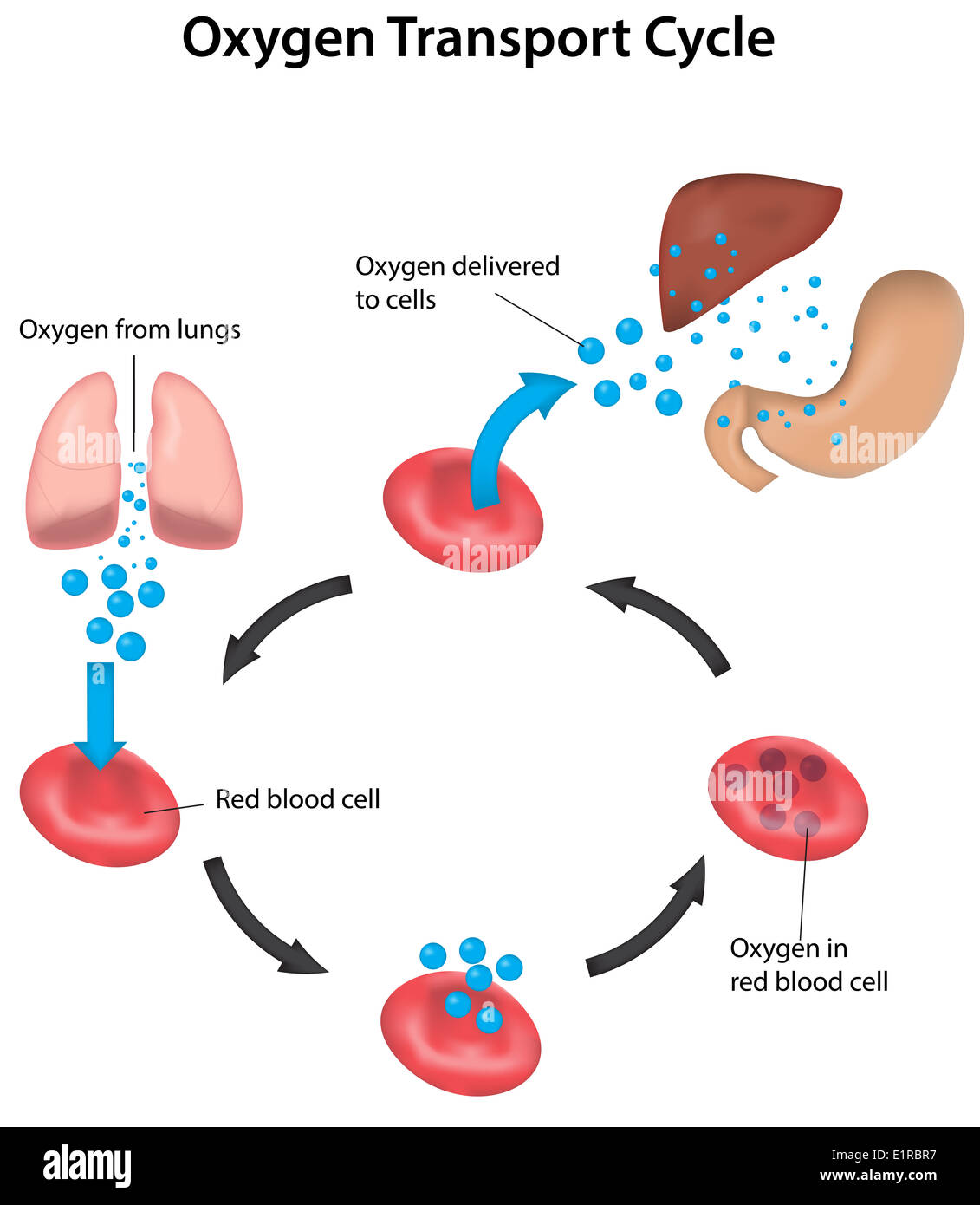 Oxygen Transport Cycle From Lungs To Organs Labeled Stock
